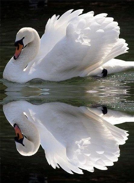 Лебедь белый на пруду