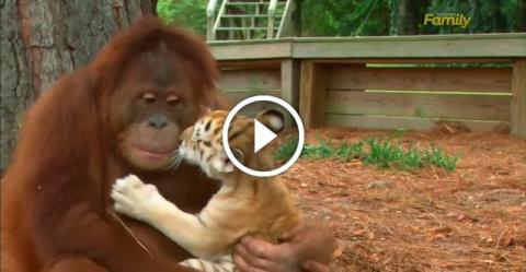 Орангутанг думает, что он папа этих 5 тигрят. Умильная семейка!