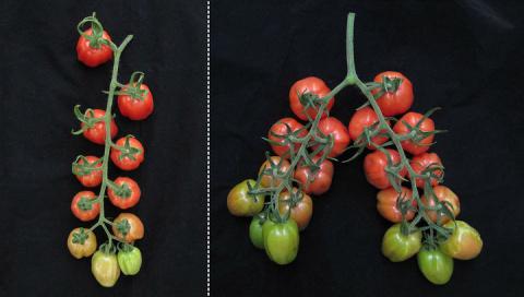 Редактирование генов заставило работать скрытый потенциал томатов, сделав их высокоурожайными