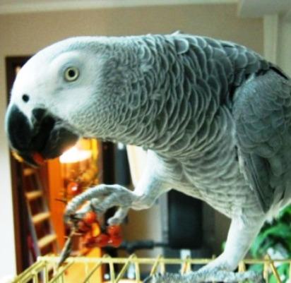 Сообразительная контрабанда  — то ли спирт был разбавленный, то ли попугай попался бывалый...