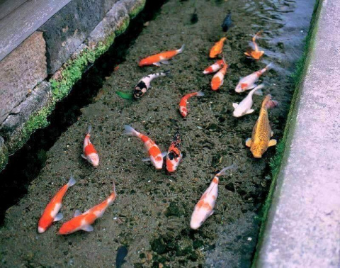 Что живет в японских сточных канавах