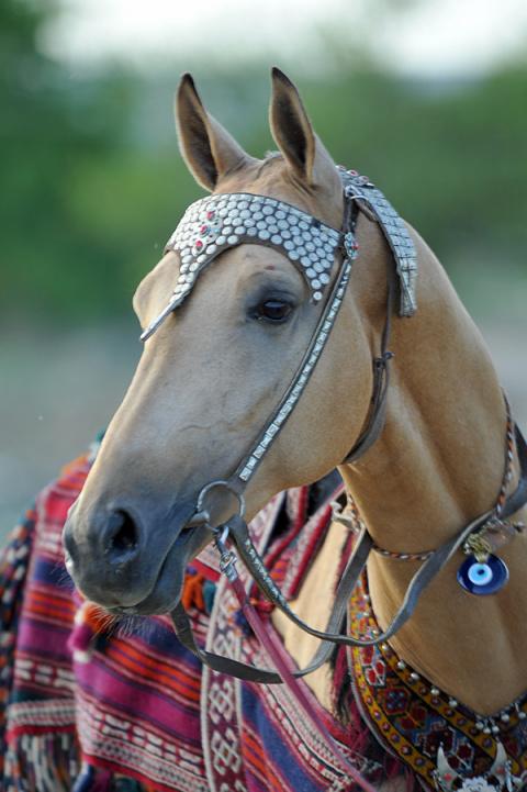 Неизвестное об ахалтекинских лошадях