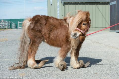 В Бельгии волонтеры спасли истощенных и заброшенных пони и лошадь