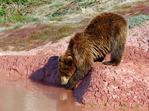 Обжигают ли медведи лапы в гейзерах?