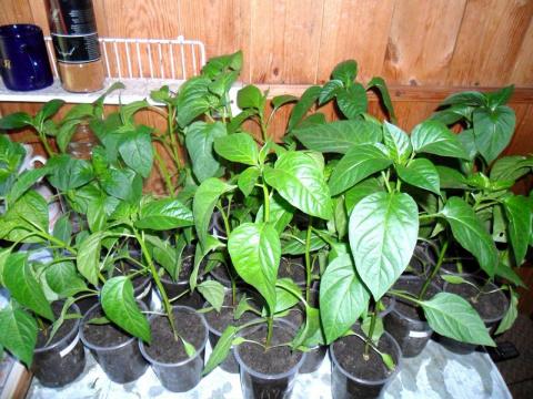Когда сеять овощи на рассаду? Какие комнатные растения очищают воздух в комнате?