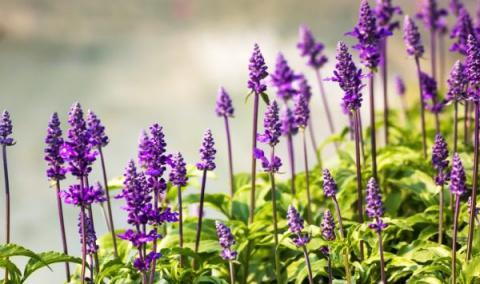 Шалфей - полезное украшение для вашего сада