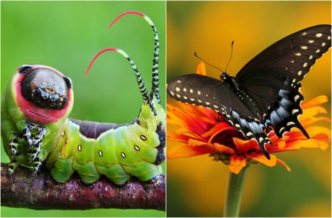 Необыкновенные превращения гусениц в прекрасных бабочек и мотыльков