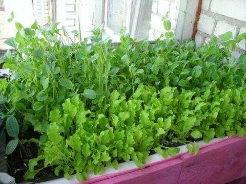 Руккола на подоконнике - выращиваем дома из семян