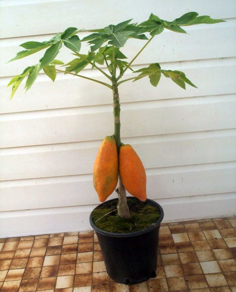 Любителям экзотов: папайя, или дынное дерево