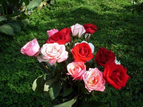 Супер средство для защиты роз!