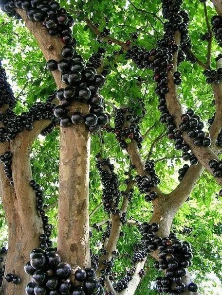 Джаботикаба - бразильское виноградное дерево