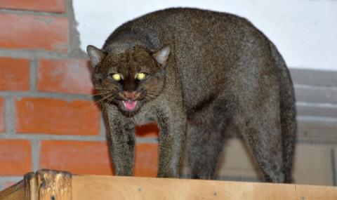 В Московский зоопарк привезли двух диких кошек ягуарунди