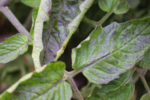 Почему скручиваются листья у помидоров и как это вылечить