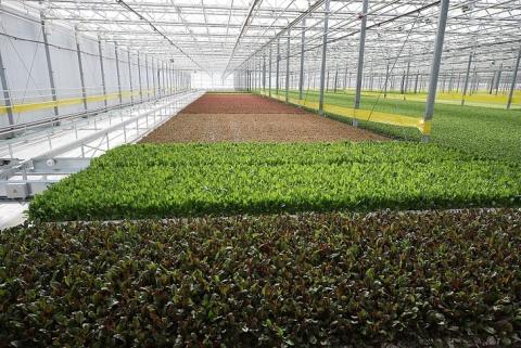 Первая очередь тепличного комплекса по выращиванию салатных культур открыта в Ставропольском крае
