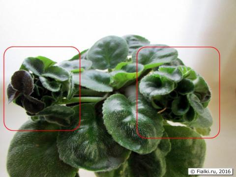 Выращивание химер