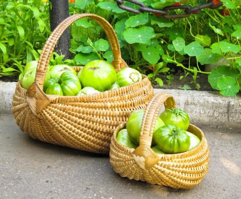 Способы дозаривания зеленых …