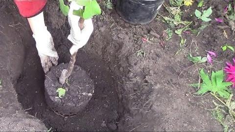 5 правил посадки яблонь на глинистой почве