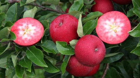 Яблоки с красной мякотью – ч…
