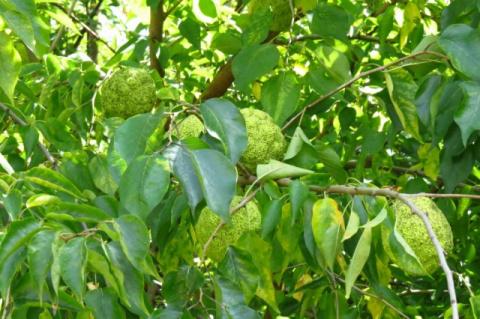 САД, ЦВЕТНИК И ОГОРОД. Маклюра оранжевая — дерево отчаявшихся