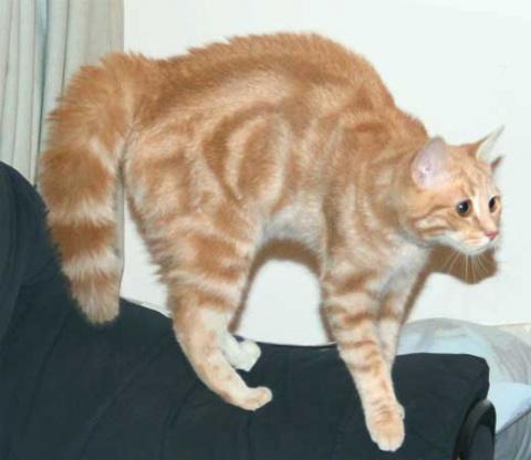 КОШКИН ДОМ. Интересные факты о хвосте кошки
