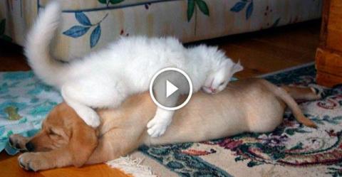 Кошки, которые так сильно обнаглели, что используют собак вместо подушек!