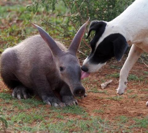 Спасенная девочка муравьед думает, что она – собака