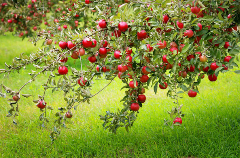 Родиной яблок оказался Казахстан