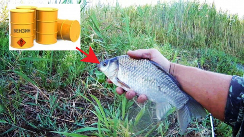 Рыбалка на карася на БЕНЗИН, Как карась реагирует на БЕНЗИН