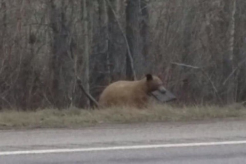 Медведь с ноутбуком в зубах удивил очевидца
