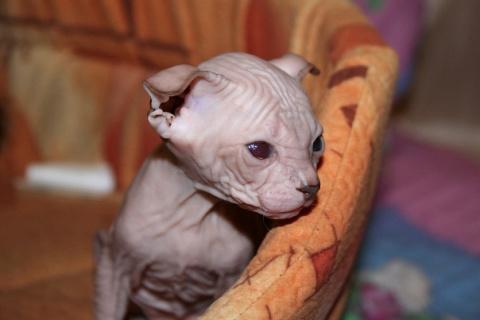 Продаются шикарные котята породы Украинский левкой - голая вислоухая кошка!!!