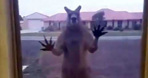 Британская семья попала в плен к кенгуру