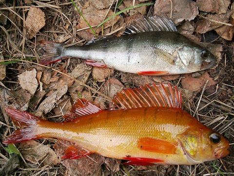 Пресноводные рыбы МУТАНТЫ
