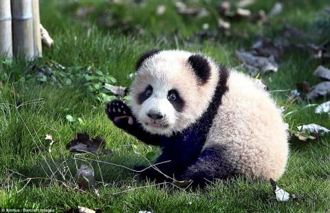 Малышка панда учится ходить