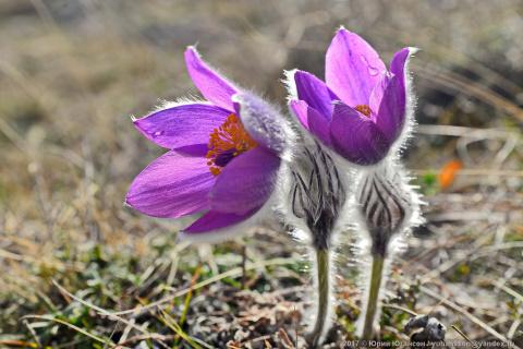 Сон-трава в Пол-шаге до зимы