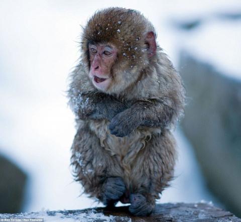 Японский парк обезьян Дзигок…