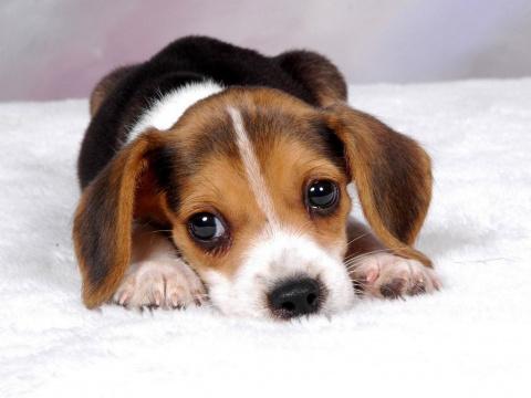 На каких собак аллергии нет