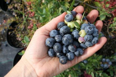 5 веских причин поселить голубику в саду