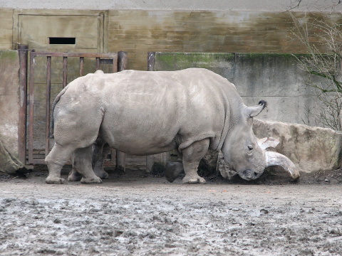 Рог или жизнь: как зоопарки вынуждены спасать носорогов