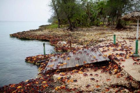 Возмездие ракообразных: крабы атакуют Кубу