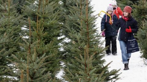 «Колючий бизнес», или как можно заработать на новогодних елках