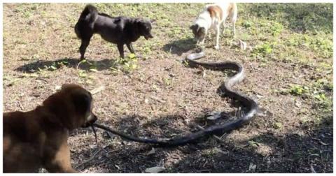 Собаки спасли свою хозяйку от королевской кобры