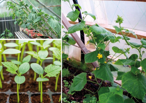 Как омолодить огурцы в августе и увеличить урожай