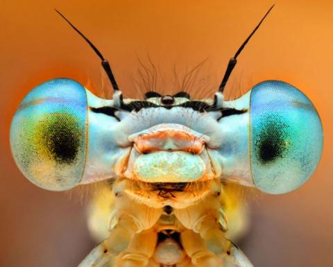 Глаза жуков: макрофотографии…