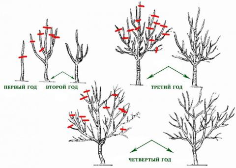 САД, ЦВЕТНИК И ОГОРОД. Основные правила обрезки деревьев весной