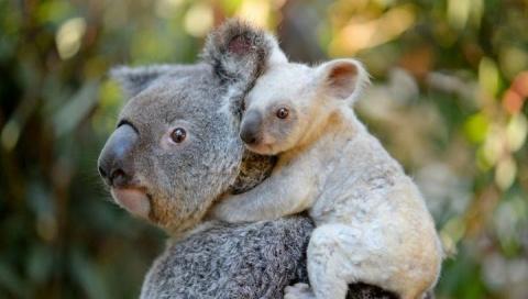 В австралийском зоопарке появилась на свет редкая белая коала