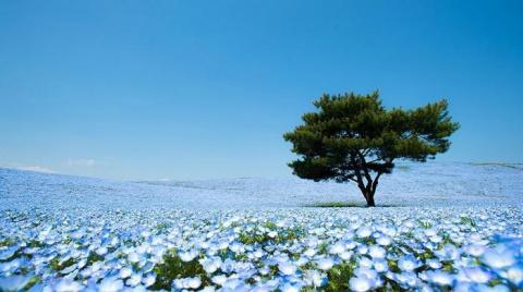 Цветочные поля весной в японском парке Хитачи
