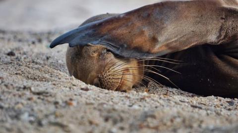 Милые детеныши галапагосских морских львов