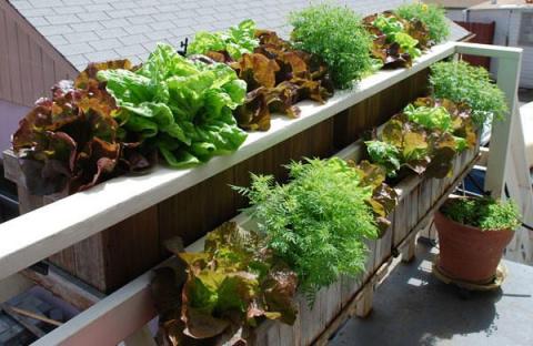 Инструкция по выращиванию салата в домашних условиях