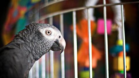 Попугай весьма невоздержанно обругал мужчину, который сломал его клетку. Ого, вот это ярость!