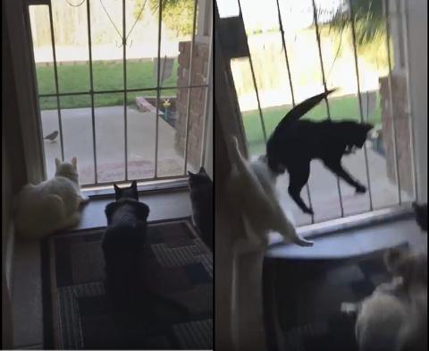 Cобака напугала трёх кошек самым наглым образом